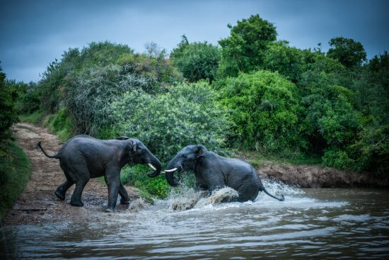 Elephants fighting in the water