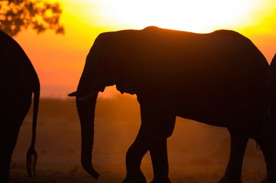 Elephant and sunset in Africa
