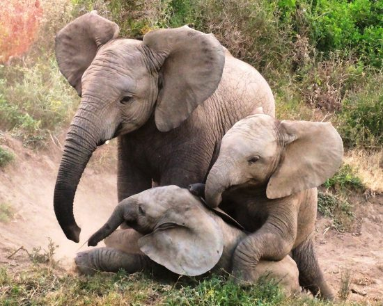 Baby elephants playing in the bush