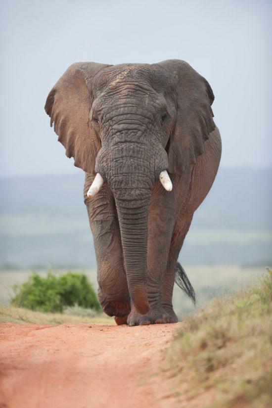 Elephant bull walking on road