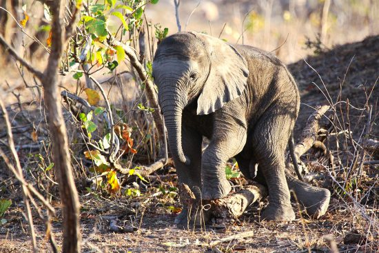 Baby elephants first steps