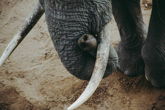Elephants trunk and tusks