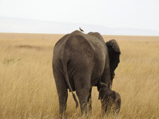 mother and baby elephant in the dry african grass