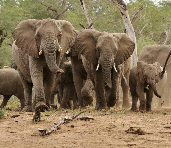 Elephants walking together