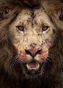 Nahaufnahme eines Löwen nach dem Fressen