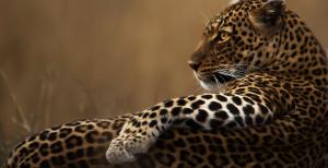 Nahaufnahme eines Leopards