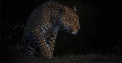 Leopard auf der Pirsch bei Nacht