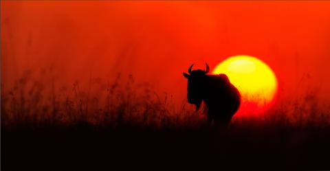 Gnu bei Sonnenuntergang in der Savanne