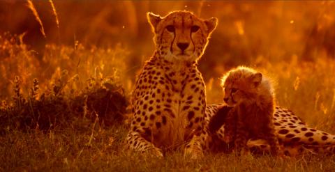 Gepardenfamilie bei Sonnenuntergang