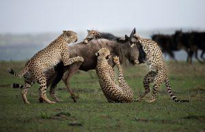 Leoparden auf der Jagd: Ein besonderer Moment der Wildtierfotografie