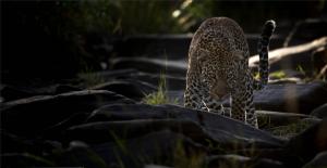 Leopard in einem Flussbett