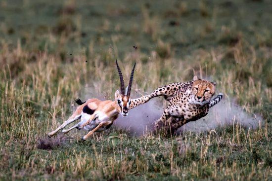 Gepard jagdt einer Antilope hinterher - Top-Fotos APOTY 2018