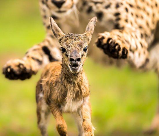 Ein Gepard jagt eine junge Antilope