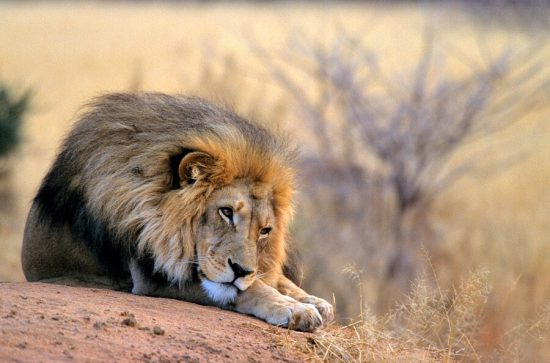 Big male lion lying on a rock in Namibia