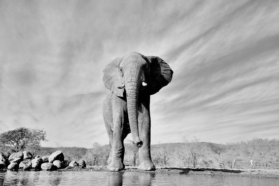 black and white photo of an elephant standing by a waterhole