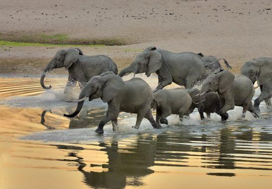 A herd of elephants crossing a river in Zambia