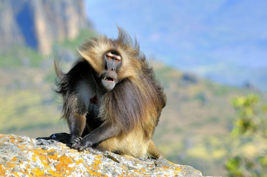 Male Geladas baboon sitting on a rock looking disappointed