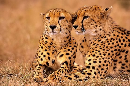 Two cheetahs sitting together in Kruger National Park, South Africa