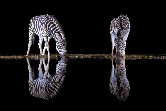 Zebras drinking in the dark APOTY 2018 - capture Africa Winner