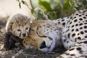 A sleeping cheetah and her cub lying in the shade